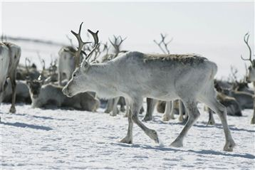 Reindeer. Photo CH/Innovation Norway